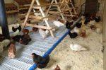 Курятник для несушек – Чертежи курятника на 20 кур, строительство своими руками, поэтапное с фото и видео