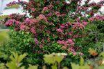Многолетние кусты цветущие все лето фото и название – 6 популярных кустарников, цветущих все лето